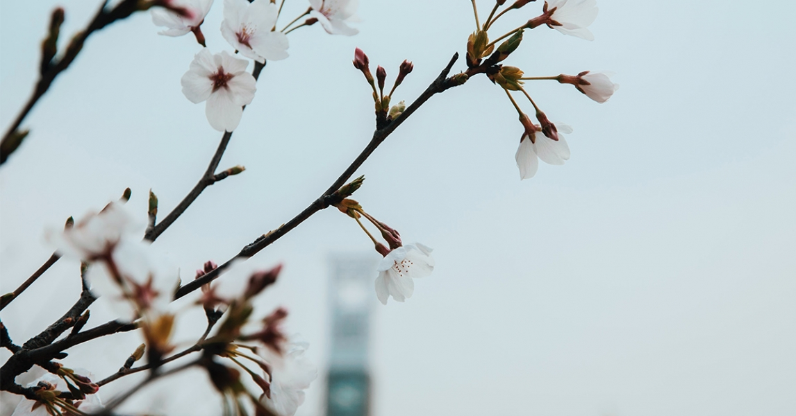 Spring blossom with a building in the background