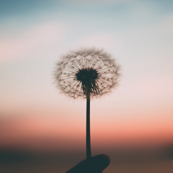 Person holding a dandelion with a pink sky background